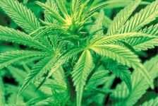 Medical cannabis is safe, says WHO
