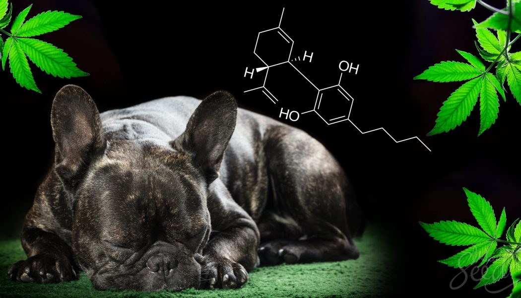 Your Pet Can Use CBD, Too