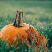 Struggling Pumpkin Farmers Turn to the Cannabis Industry